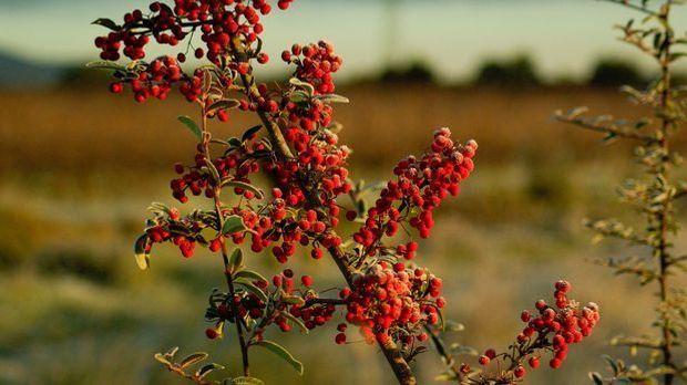 Feuerdorn-Pflanze-Zweige-pixabay