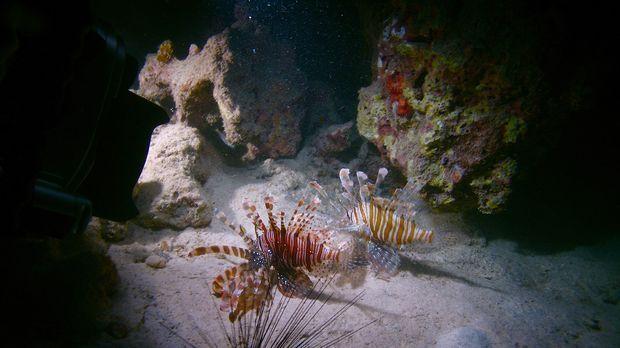 Der giftige Rotfeuerfisch ist ein starker Anwärter auf einen Platz unter dem...