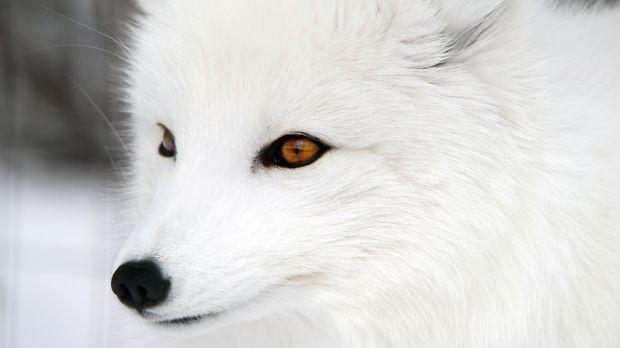 Sein Name lässt es schon vermuten, der Polarfuchs mag es gerne kalt. Einzelne...