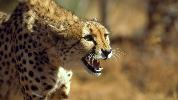 Diese Katzen bekommen ihre Nahrung nicht aus der Dose: Steve Backshall zeigt...