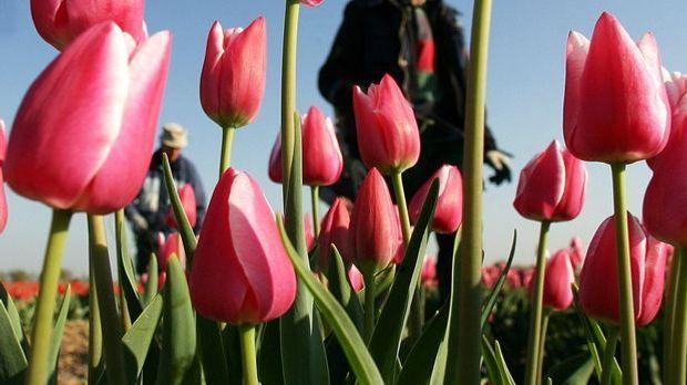tulpen-feld-09_04_20_dpa.jpg