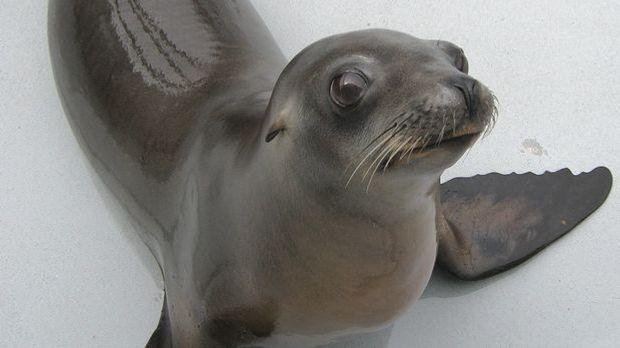 Seelöwenweibchen Ronan