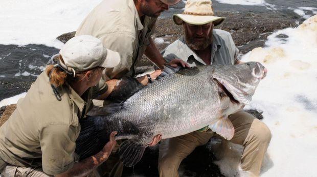 Der Nilbarsch ist mit maximal zwei Metern Länge der größte Süßwasserfisch Afr...