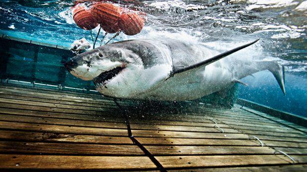 Mit ihrer beispiellosen Ausrüstung gelingt es dem Haiforscher-Team auch den g...