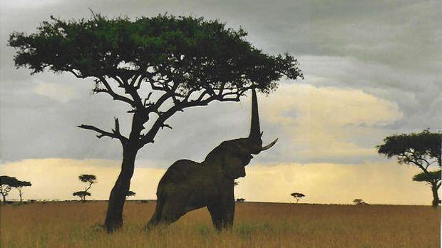 Elefanten - Wikimedia: Sandra Fenley