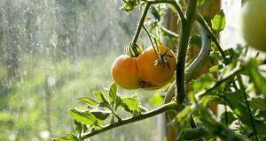 Haben die Tomaten ein Dach über dem Kopf, können Sie Ihnen beim Rotwerden pra...