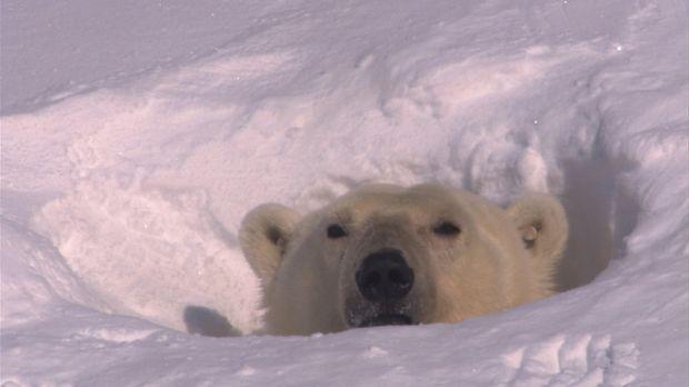 Erste Sonnenstrahlen fallen in das Winterquartier des Eisbären. Nun heißt es...