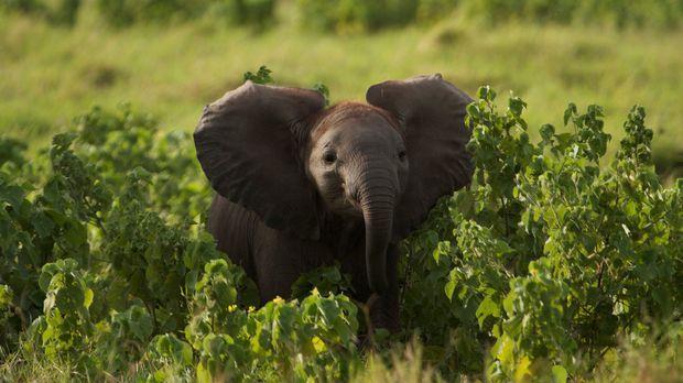 Im Samburu Nationalpark in Kenia hat das neugeborene Elefantenkalb Maya beste...