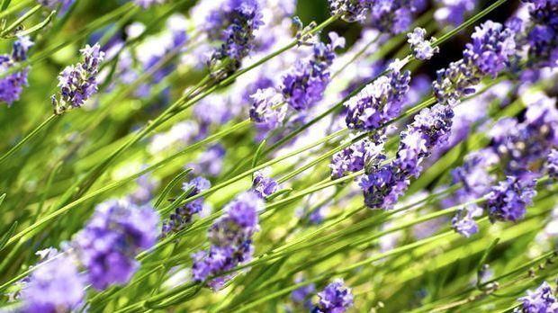 Lavendelheide