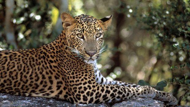 Der junge männliche Leopard hat alles im Blick ... © Toby Sinclair BBC Worldw...