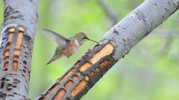 Wenn im Mai der Zimtkolibri aus Mexiko im Tongass National Forest in der südö...