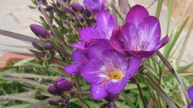 Möchten Sie im Garten Freesien pflanzen, achten Sie beim Kauf unbedingt darau...