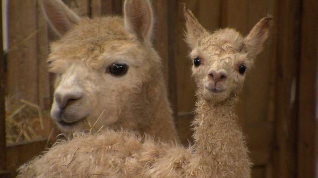 Peter Bischoff züchtet auf seiner Farm in Thüringen Alpakas. Wir durften beim...