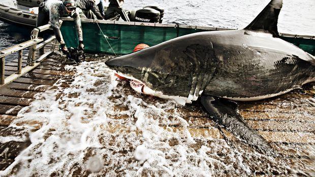 (1. Staffel) - Um dem Weißen Hai auch weiterhin folgen zu können, muss das Wi...